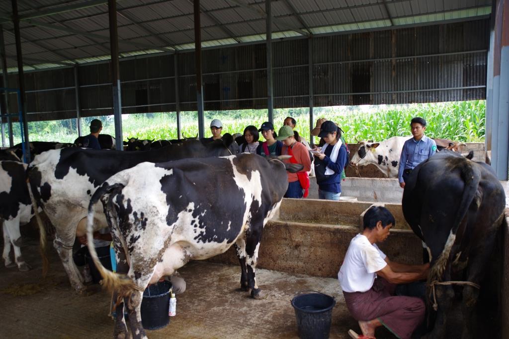 ミャンマーの乳牛