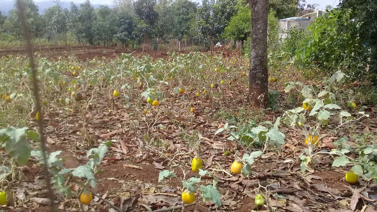 ナスが売れないので放置されて黄色くなっている畑