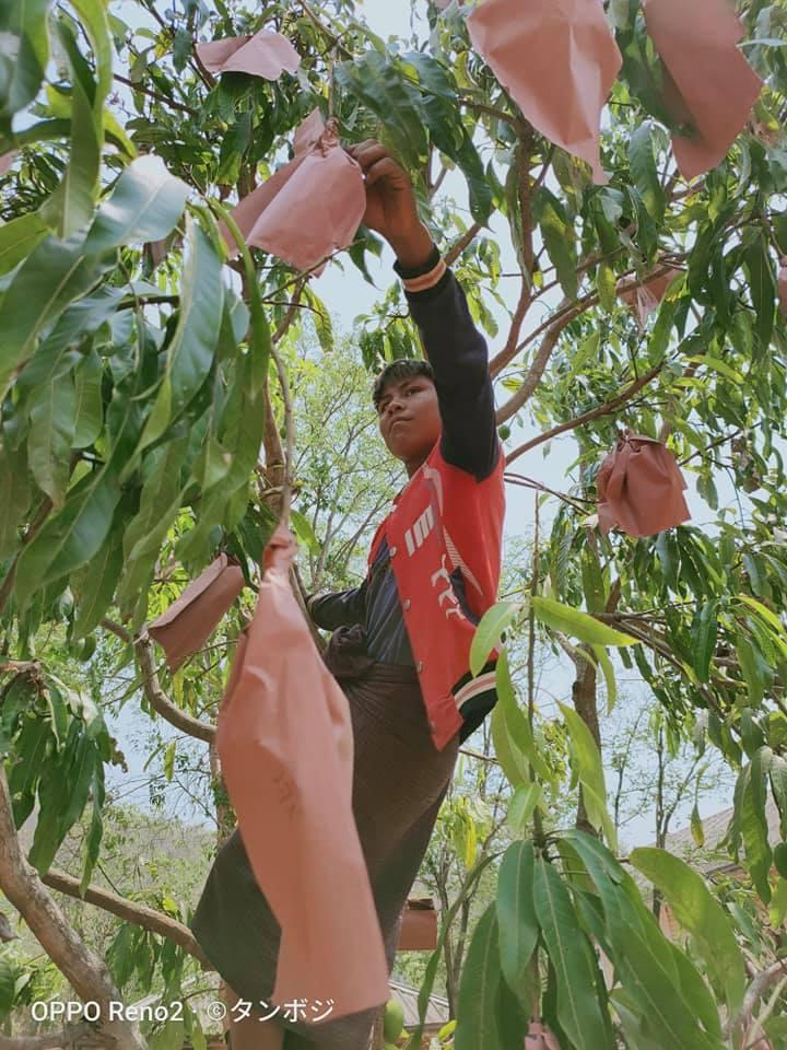 木に登って袋がけをする様子