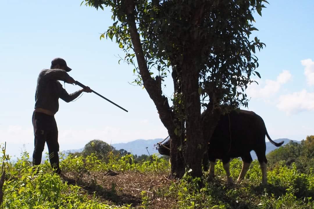 牛を銃で撃とうとしている写真