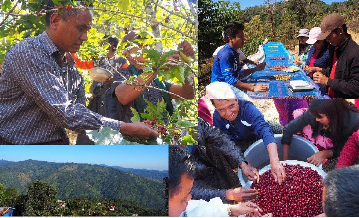 コーヒーを収穫している人の写真
