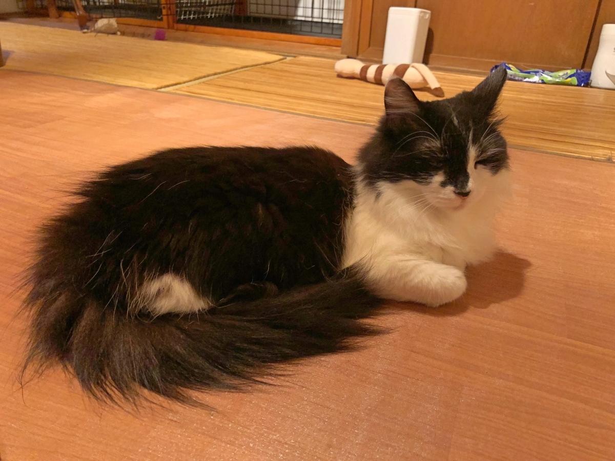 長毛の猫の写真