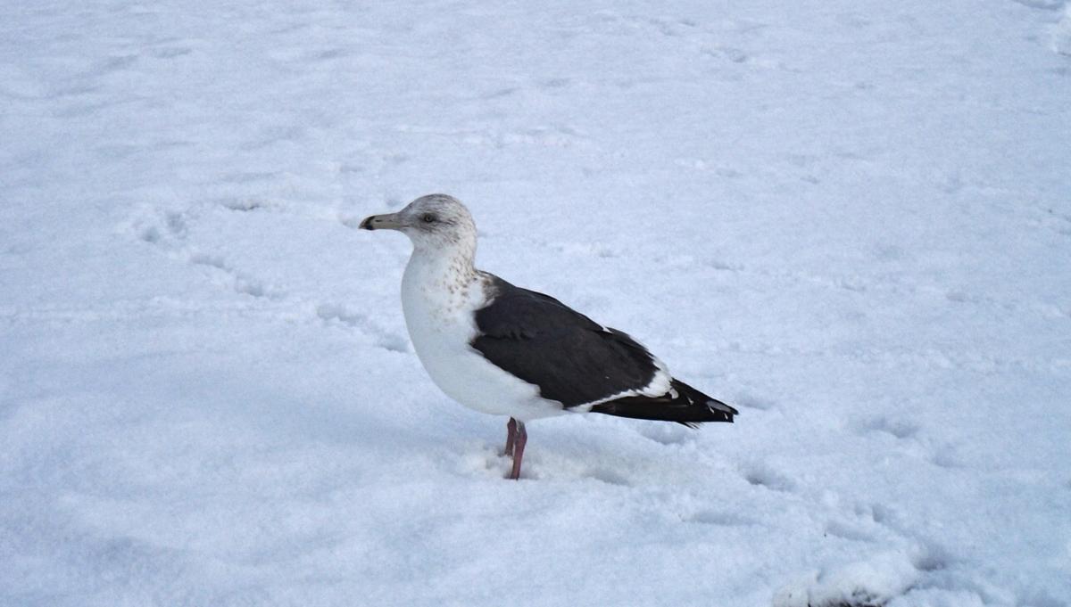 雪に足が埋もれた鳥