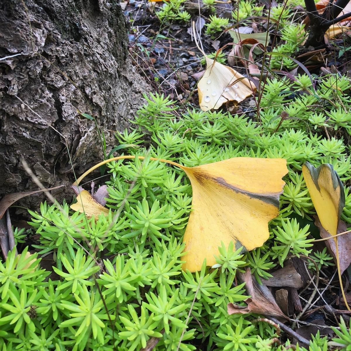 月日を経て枯れたイチョウの葉イメージ
