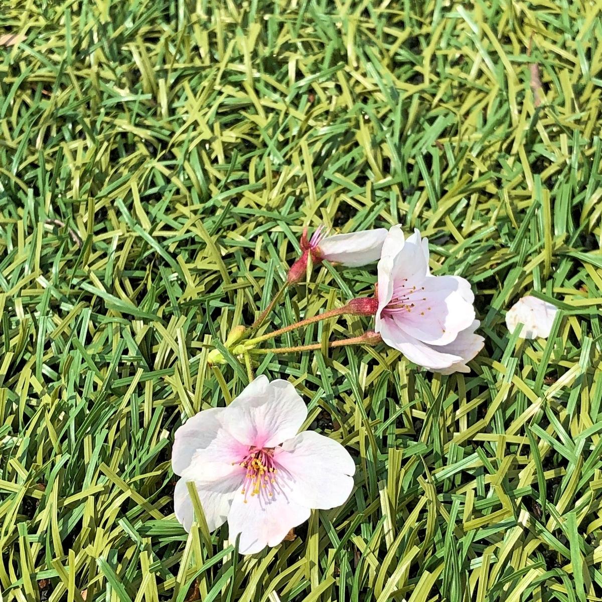 綺麗な芝の上の桜イメージ