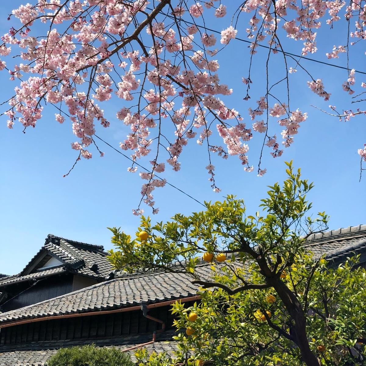 松坂の古民家と桜イメージ