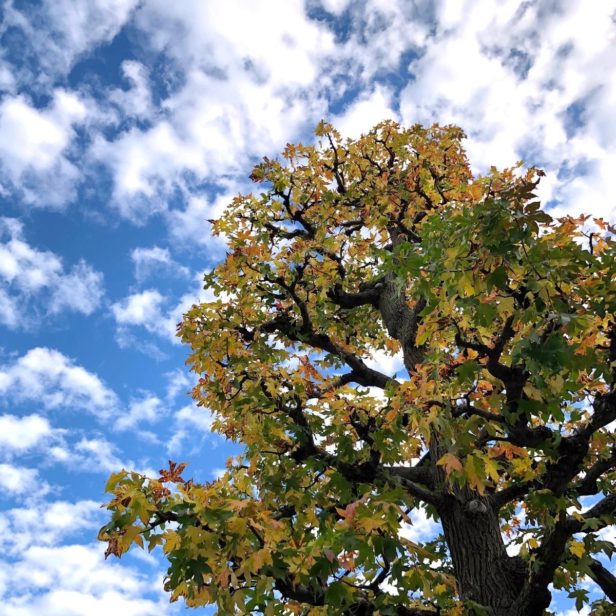 青空に立つ紅葉の木イメージ