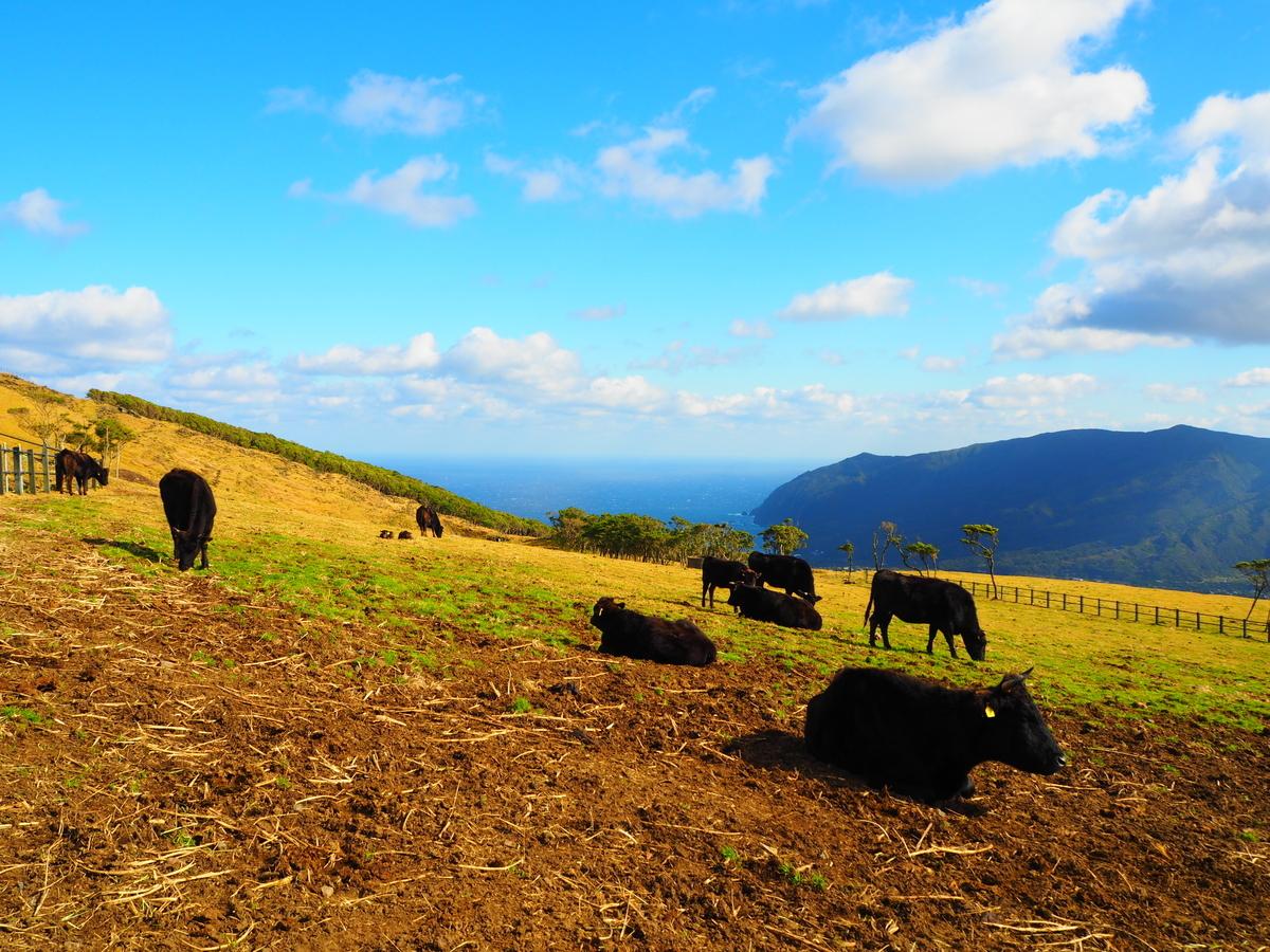 八丈島 牧場 ジャージー牛