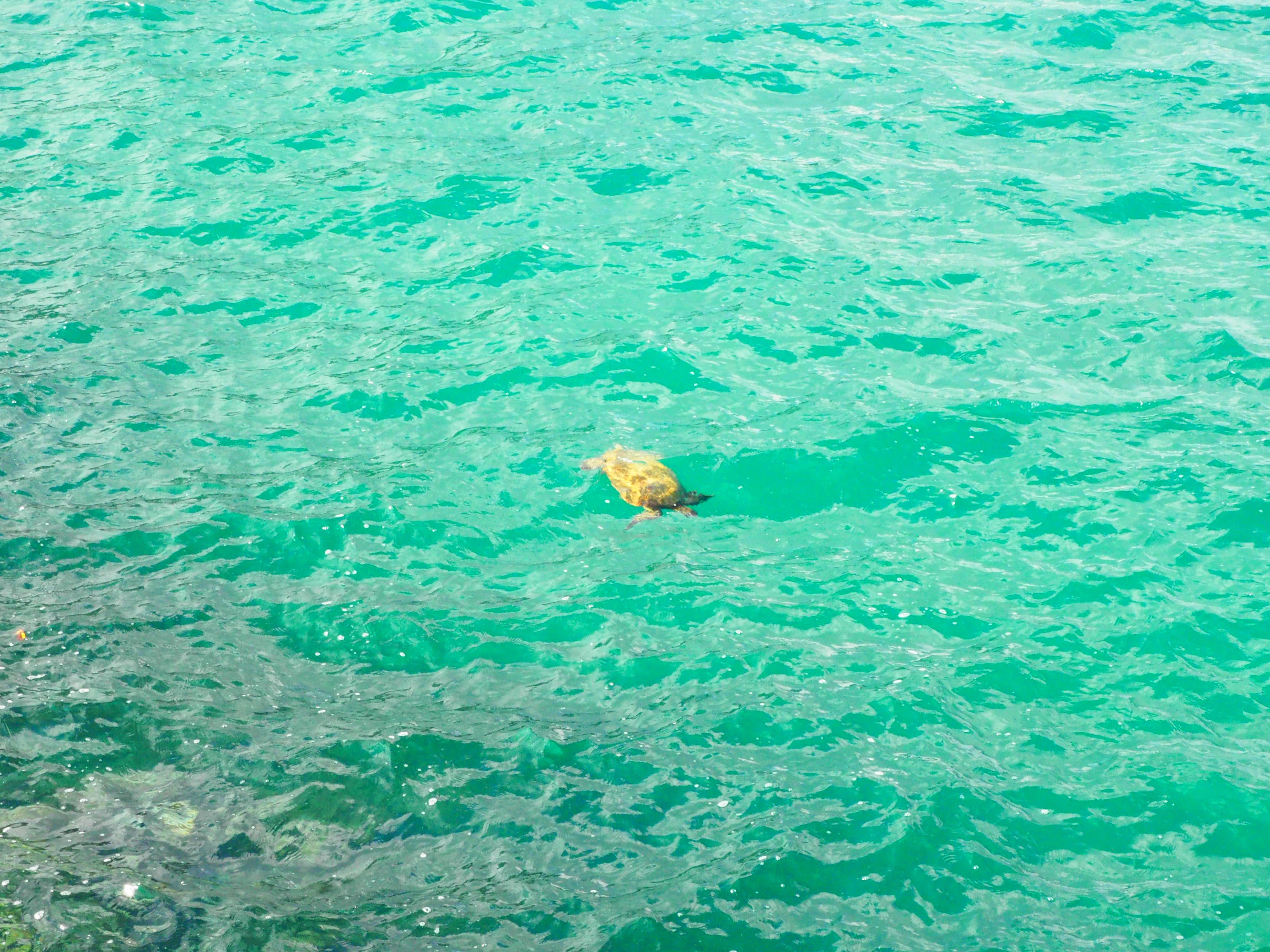 ウミガメ 八丈島
