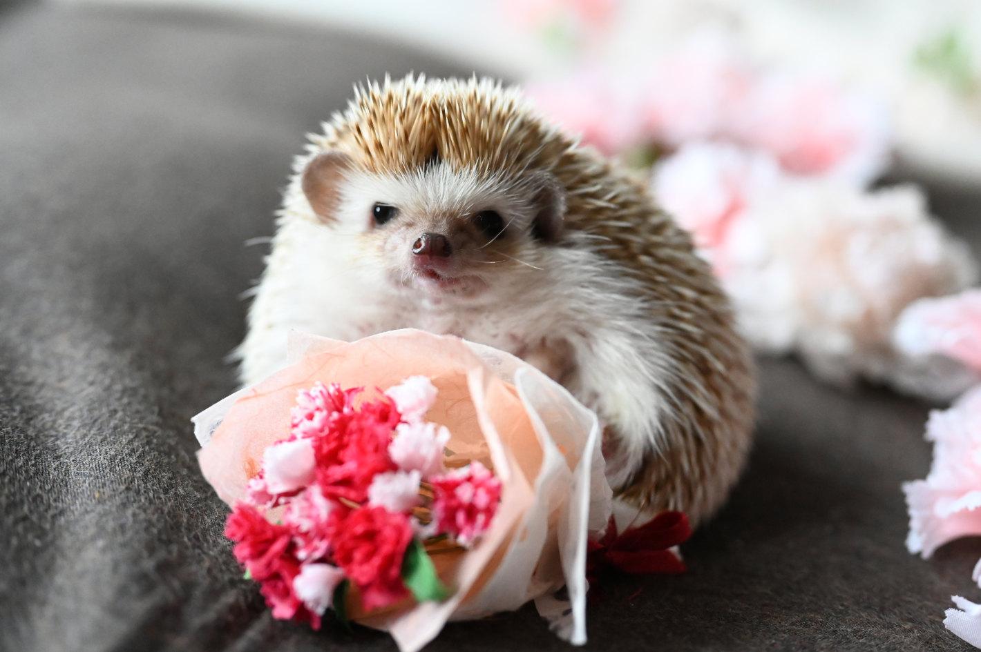 【ハリネズミさんの毎日が記念日】5月10日「母の日」に贈るカーネーション