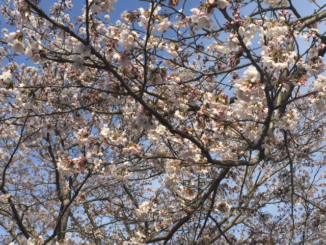 日本道観総本部の桜