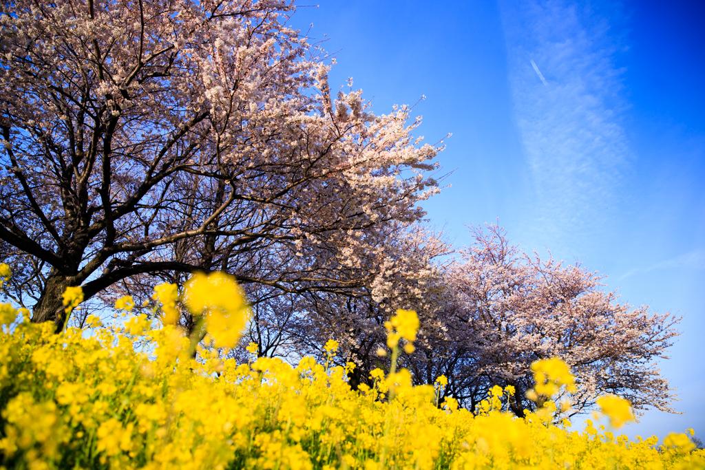 上堰潟公園 菜の花と桜