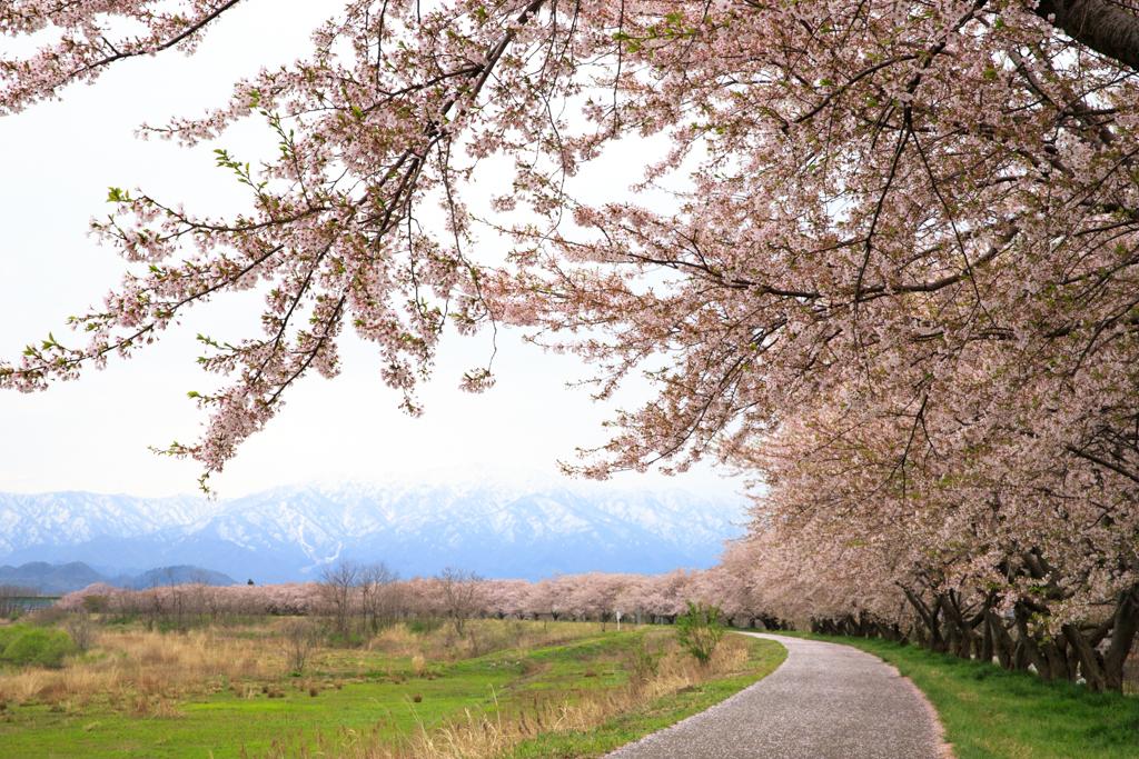 加治川治水記念公園 桜並木