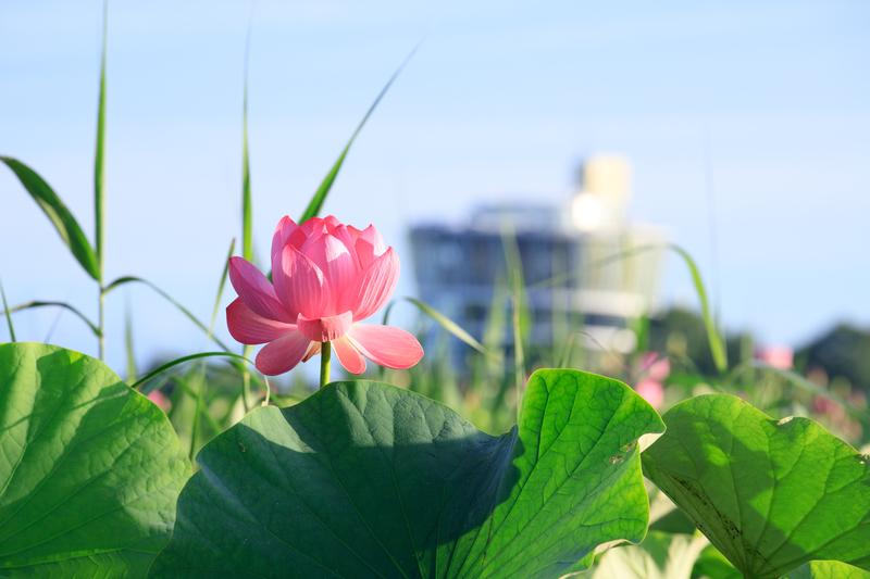 蓮の花 福島潟