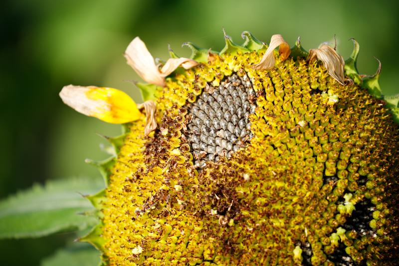 上堰潟公園 ヒマワリ ひまわり 向日葵