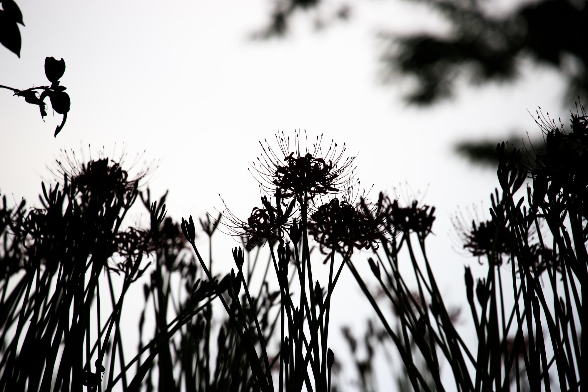 鳥屋野潟公園 彼岸花 ヒガンバナ