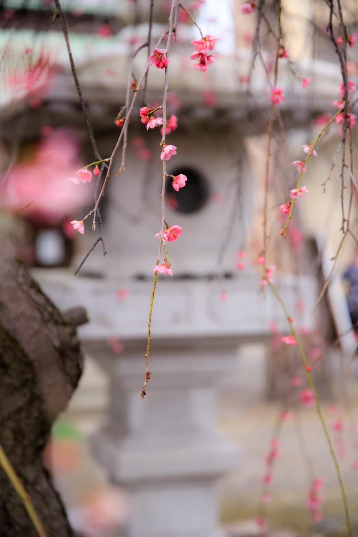 蒲原神社 梅 ウメ