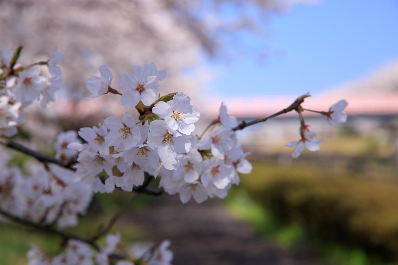 桜 鷲ノ木桜遊歩道公園