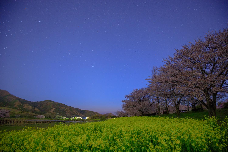 上堰潟公園 夜桜 菜の花