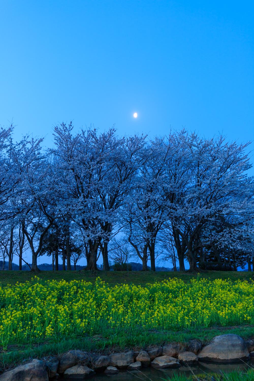 上堰潟公園 菜の花 夜桜