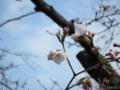 桜:多布施河畔