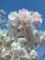 さくら(神代植物公園)