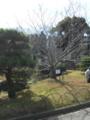 荘川桜二世