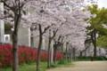 長池公園のサクラ