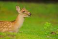 [奈良][鹿][動物]