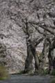 [桜][さくら]