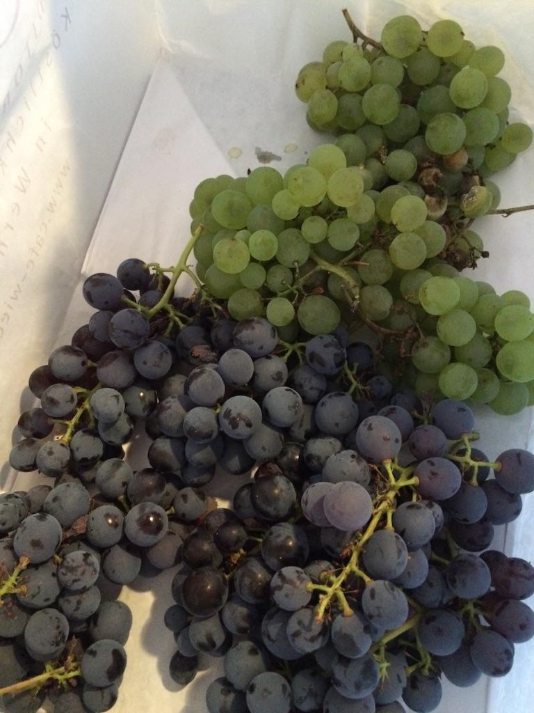 庭になっているワイン用の葡萄、赤と緑