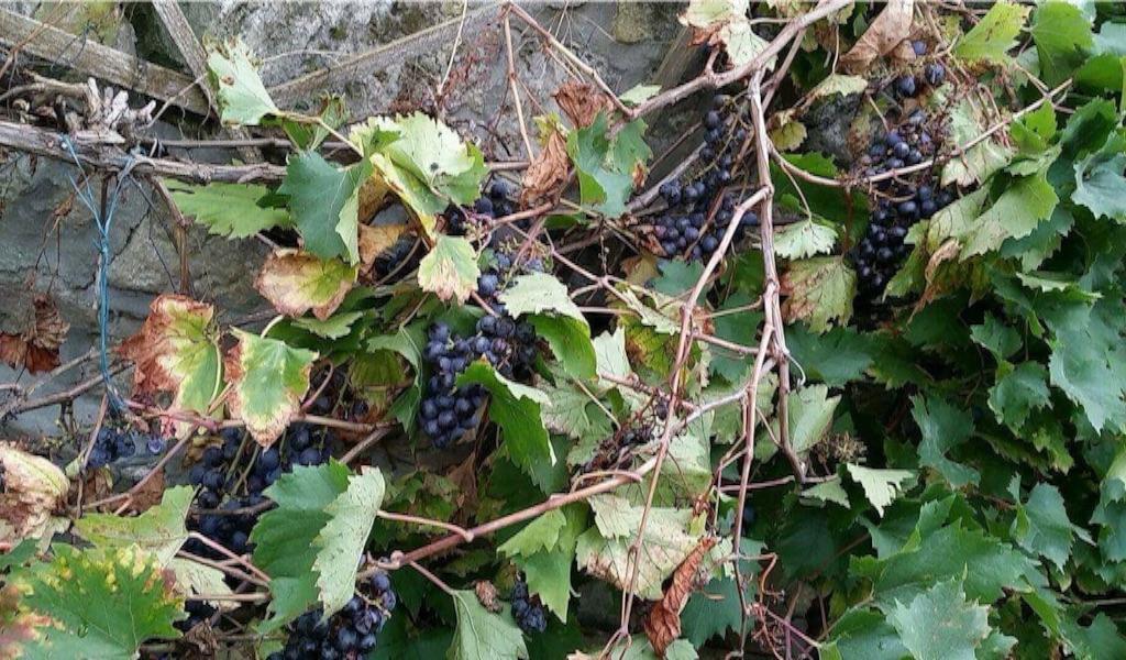 庭の壁になっているワイン用の葡萄