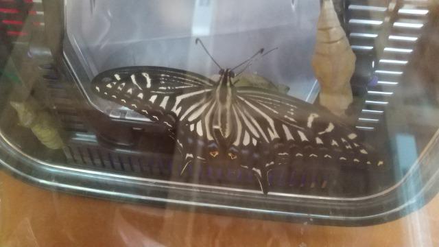 虫かごの中のアゲハチョウ