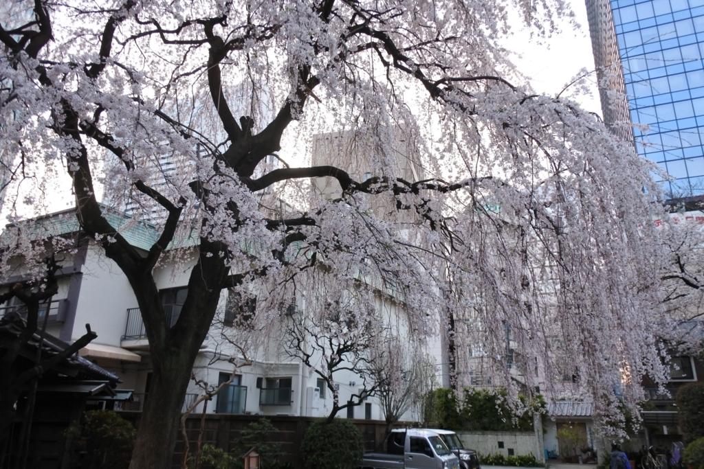 西新宿「常圓寺(常円寺)」の桜。開花時期はライトアップも