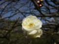 小金井公園の梅