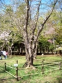 北海道神宮境内にある標本木