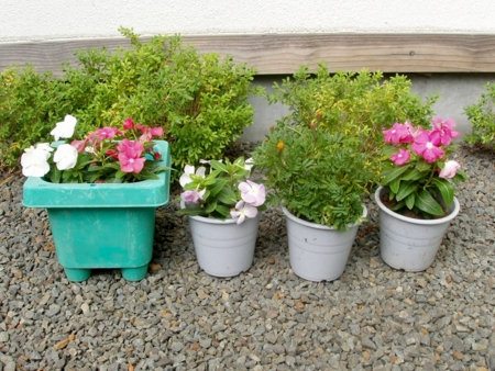 小学生が持ってきてくれた鉢植え