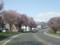 琴似発寒川沿いの道路の桜並木