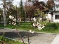 梅の木(平成24年5月7日)