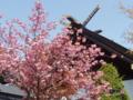 八重桜(平成24年5月17日)