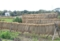 平成25年 松澤家の水田で収穫された稲穂