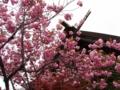 平成26年5月 西野神社境内の八重桜