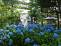 平成26年7月 境内の紫陽花
