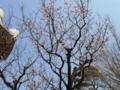 平成27年4月 第一駐車場の桜