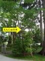 えんじゅの木