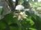 西野神社境内で開花する「槐」の花