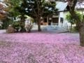 舞い散る八重桜の花びら