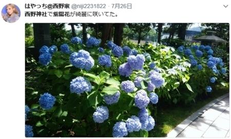 ツイッターで紹介されている西野神社の紫陽花