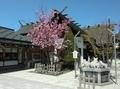 西野神社境内での満開の八重桜(令和元年5月)