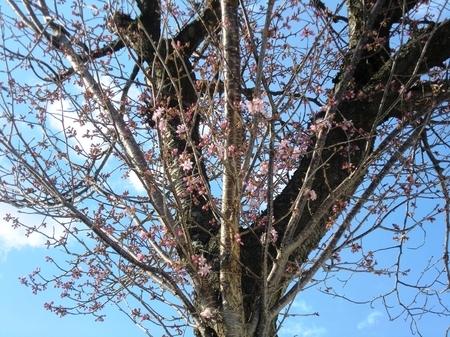 令和2年4月30日 西野神社境内で開花した桜